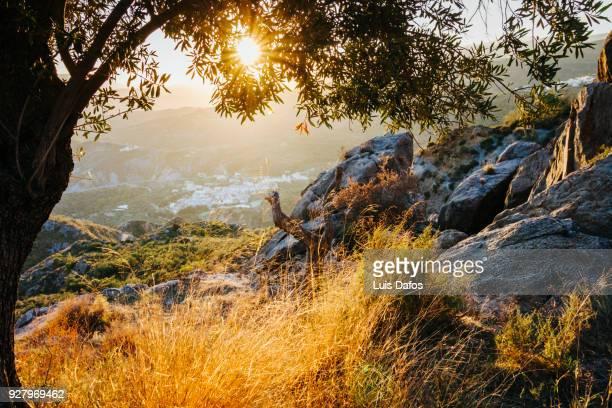 Olive tree in Las Alpujarras at sunset