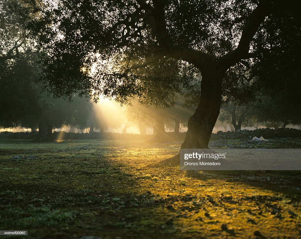 Olive tree in sunrise, Italy : Foto de stock