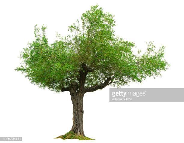 olive tree  on a white background - árvore imagens e fotografias de stock