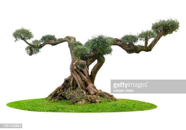 olive tree on a white background. - branch stock pictures, royalty-free photos & images