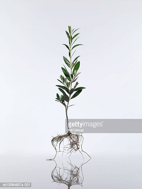 Olive tree (Olea europaea) on white background