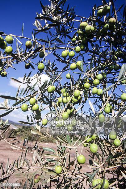 olive tree - photostock stock photos and pictures