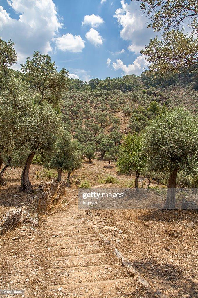 Olive Tree : Stock Photo