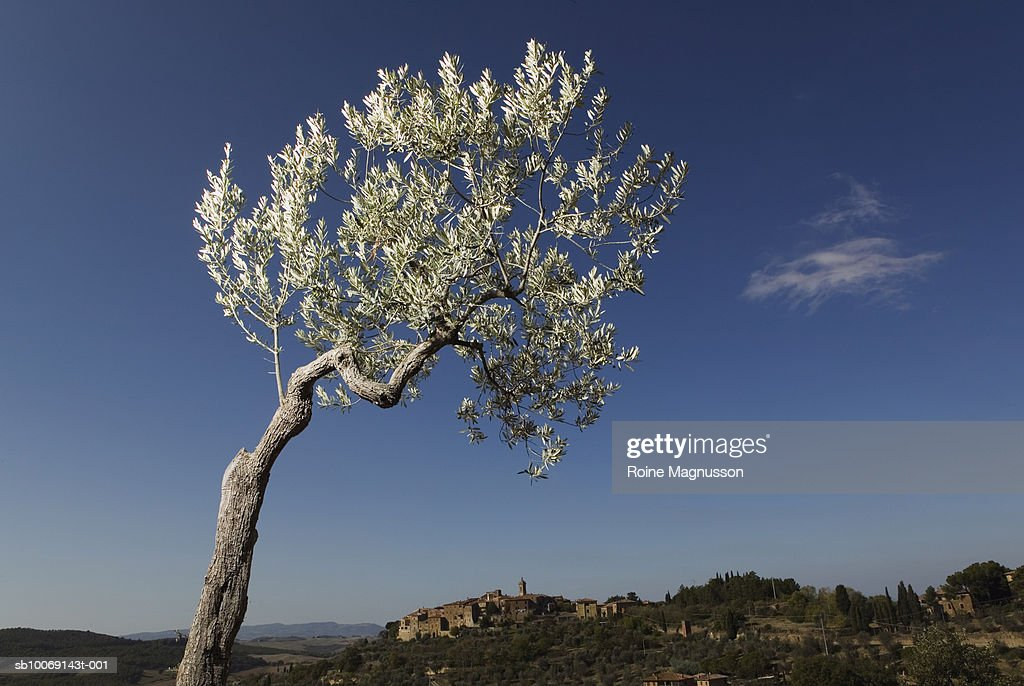 Olive tree : Stockfoto
