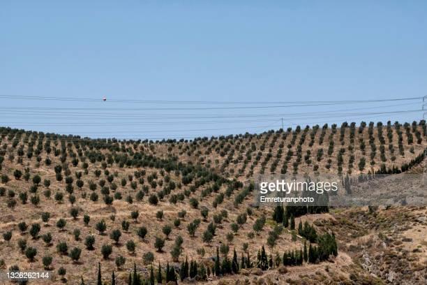 olive tree plantation with power lines across  in aegean turkey. - emreturanphoto stock-fotos und bilder