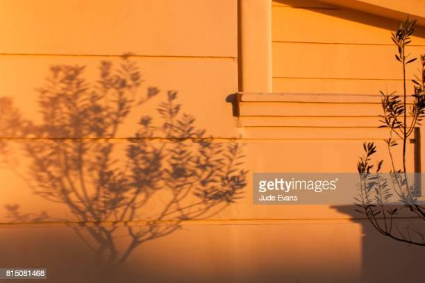 Olive tree shadows