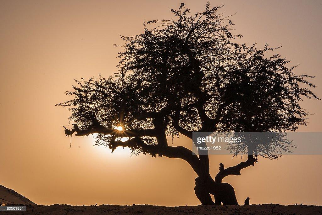 Olive tree silhouette : Stock Photo