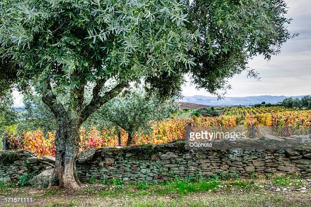 olive tree, stone fence and colorful vineyard in autumn - ogphoto stock pictures, royalty-free photos & images