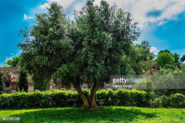 Olive tree with a thick foliage