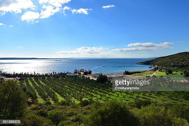 olive trees and arthichoke field by the sea - emreturanphoto stock pictures, royalty-free photos & images
