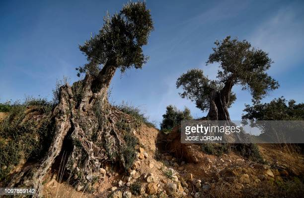 Olive trees are pictured in and olive grove in Oliete northeastern Spain on December 17 2018 Residents began moving away from rural towns and...