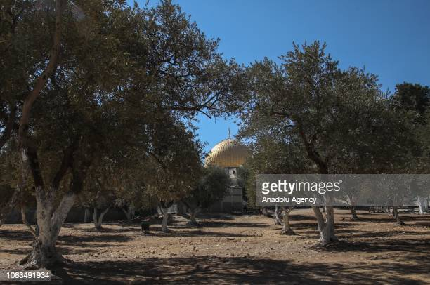 Olive trees are seen at the Masjid alAqsa Compound in Jerusalem on October 16 2018 Jerusalem Islamic Waqf take care of the olive trees in the compound