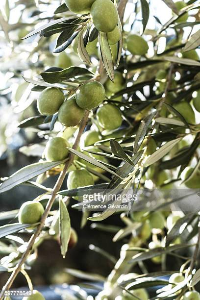 Olive tree's branch with green olives and leafs