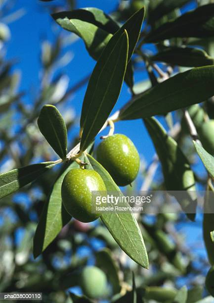 Olive trees, close up on green olives and leaves, branches and blue sky in background