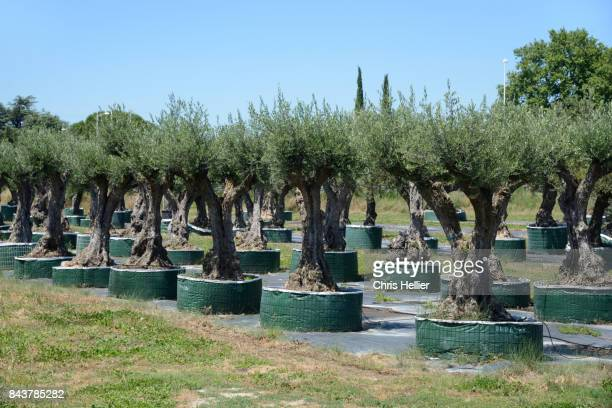 Olive Trees for Sale in Garden Centre Provence