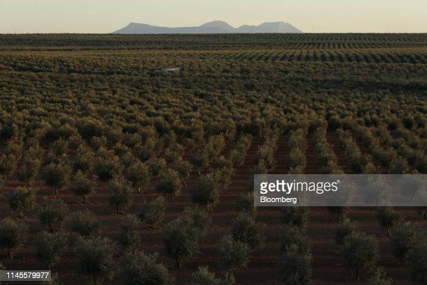Olive trees grow in a grove in La Roda de Andalucia Spain on Wednesday March 13 2019 The relationship between Washington and Madrid is being put to...