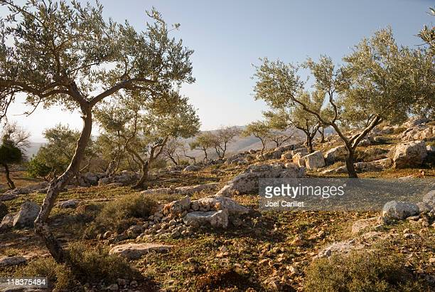 olive trees on rocky hillside in the west bank - historical palestine stock pictures, royalty-free photos & images