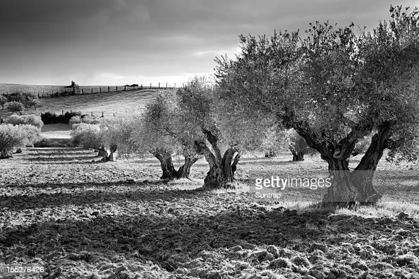 Los olivos en blanco y negro