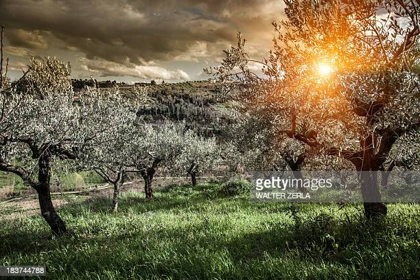 olive trees in chieti, abruzzo, italy - olive orchard stock photos and pictures