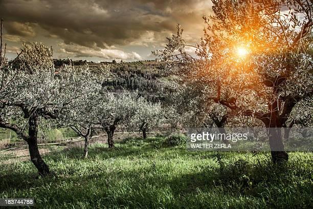 Olive trees in Chieti, Abruzzo, Italy