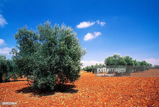olive trees in orchard with red soil - spanish olive fotografías e imágenes de stock