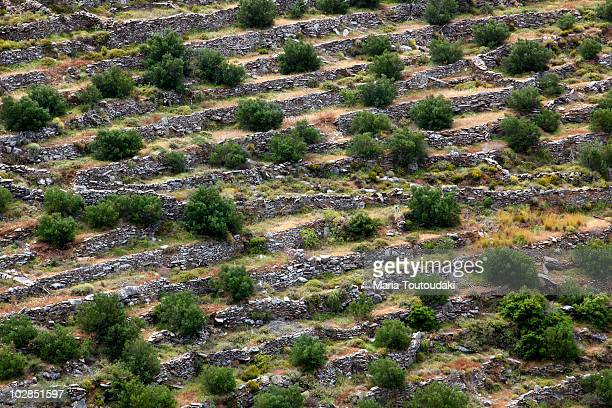 Olive trees in Peloponese
