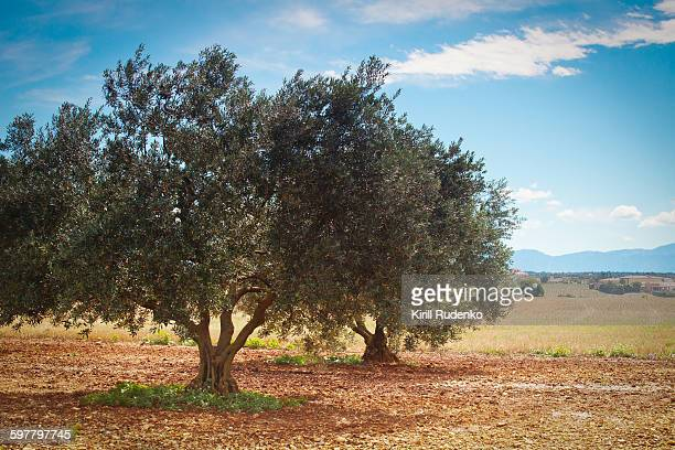 Olive trees in Provence, France