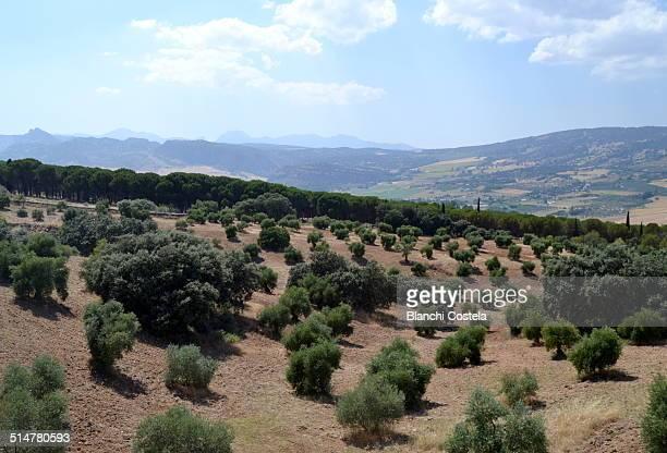 Olive trees in Ronda Malaga, Spain