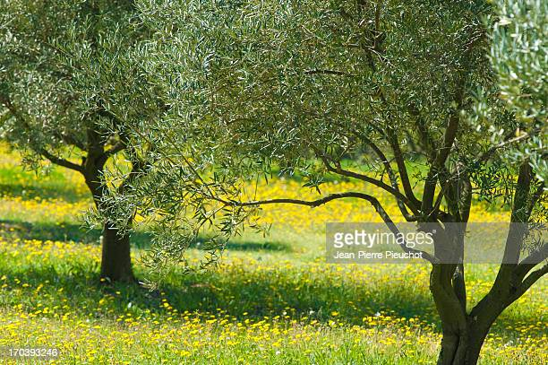 olive trees in spring, provence, france - olive orchard stock photos and pictures