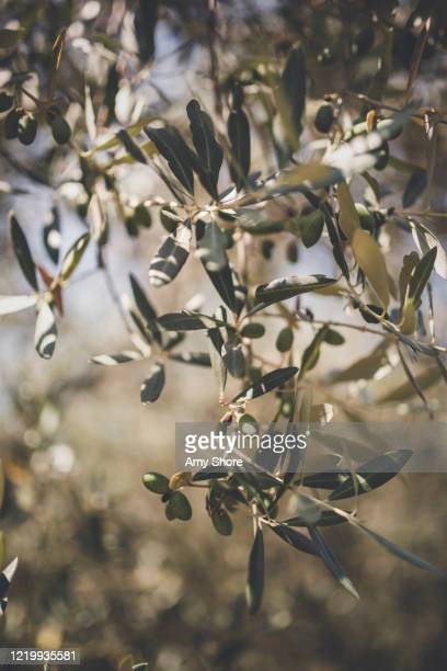 olive trees in summer - olive tree stock pictures, royalty-free photos & images