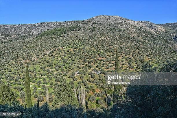 olive trees in the mountain - emreturanphoto - fotografias e filmes do acervo