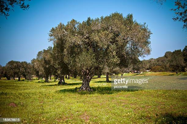 olive trees in the springtime - olive orchard stock photos and pictures