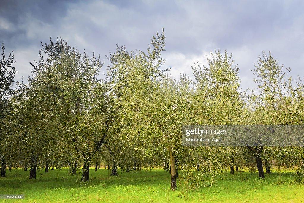 Olive trees in Tuscany : Stock Photo