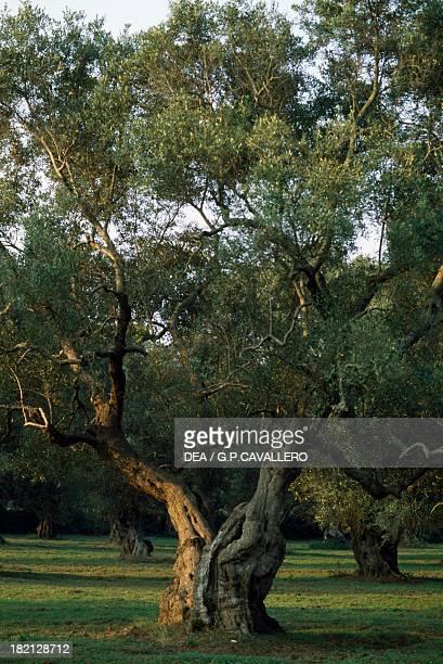 Olive trees Maglie Puglia Italy