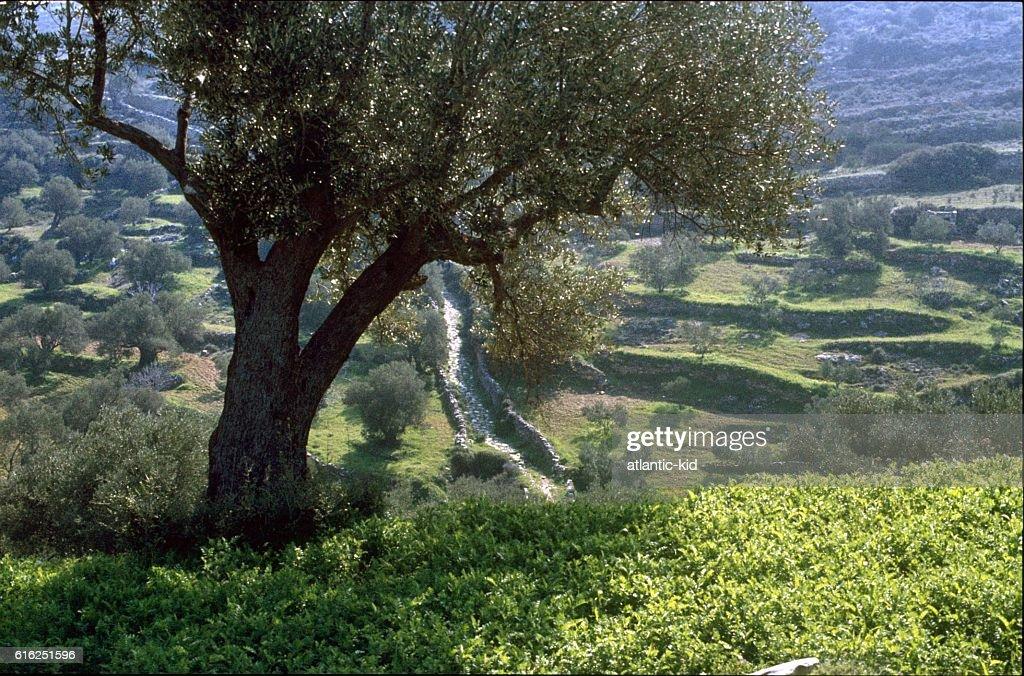 Olive trees, Mallorca : Foto de stock