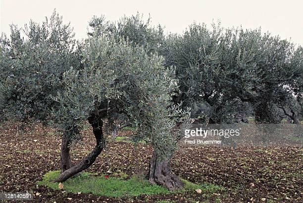 olive trees near haifa, israel - haifa stock pictures, royalty-free photos & images
