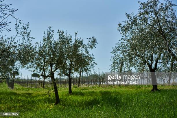 Olive Trees On Grassy Field Against Sky