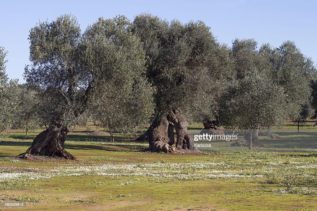 Olive trees : Stock Photo