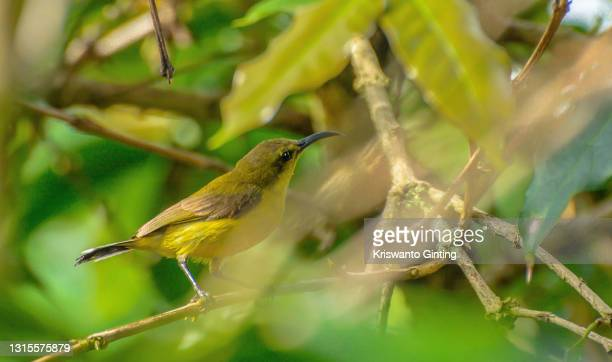 olive-backed sunbird - indonesia stock pictures, royalty-free photos & images
