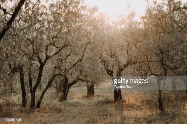 olivenbäume olivenplantage in der toscana italien oliven - italien stock pictures, royalty-free photos & images