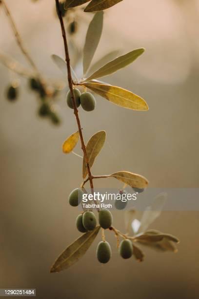 olivenbäume olivenplantage in der toscana italien oliven - belleza de la naturaleza fotografías e imágenes de stock