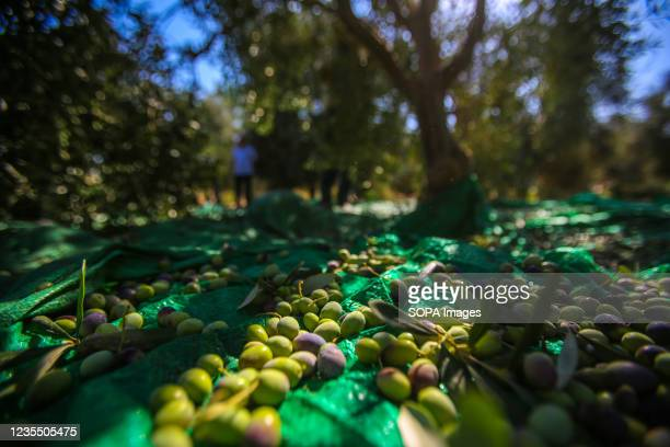 Olives are seen under an olive tree in the town of Al-Zawaideh in the central Gaza Strip. Palestinian farmers began to harvest olives at the...