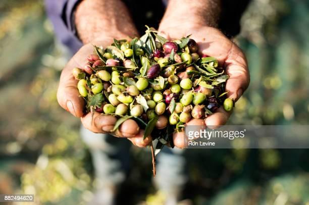 olives filling man's hands - messenia fotografías e imágenes de stock
