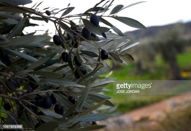 Olives hang on a branch of a tree in an olive grove in Oliete northeastern Spain on December 17 2018 Residents began moving away from rural towns and...