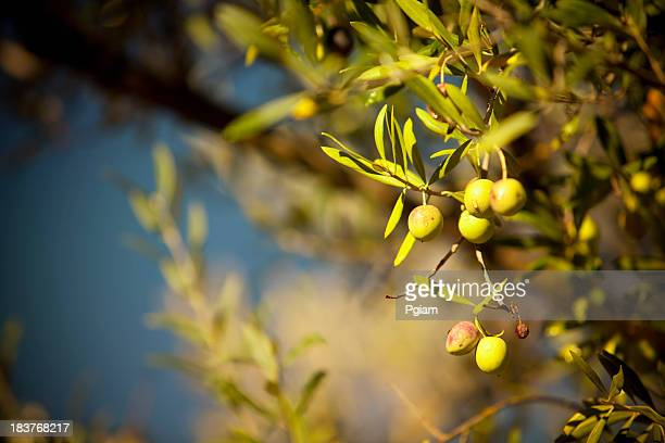Olives hang on a branch