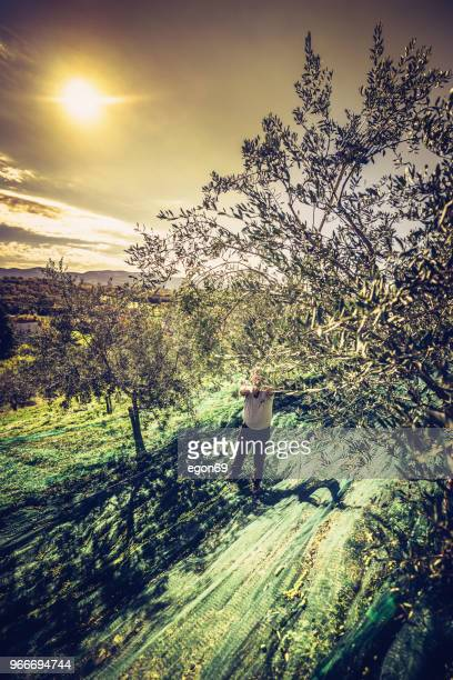 olives harvest - olive orchard stock photos and pictures