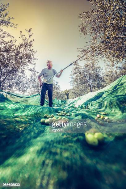 olives harvest - olive fruit stock pictures, royalty-free photos & images