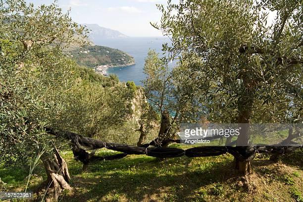 Olive la raccolta nella Costiera Amalfitana, vicino a Sorrento
