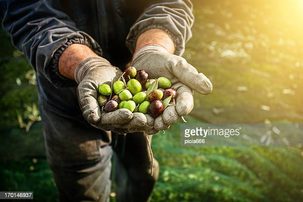 olives harvesting - harvesting stock pictures, royalty-free photos & images
