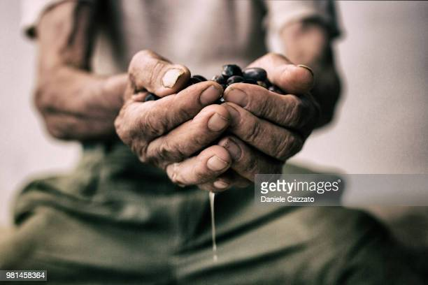 Olives in farmer's hands, Italy